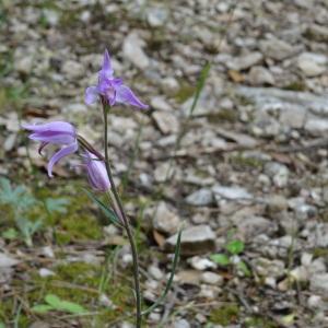 Photographie n°999846 du taxon Cephalanthera rubra (L.) Rich. [1817]