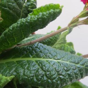 Photographie n°1000682 du taxon Primula L. [1753]