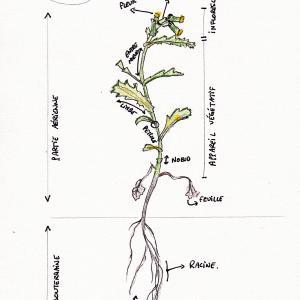 Photographie n°1000879 du taxon Hieracium sylvaticum sensu Gren. & Godr.
