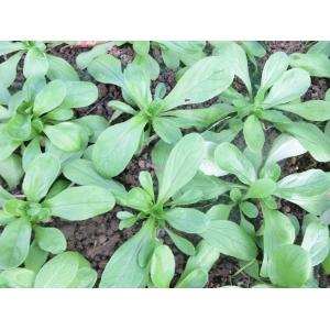 Valerianella locusta (L.) Laterr. f. locusta  (Doucette)