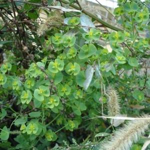 Photographie n°1002278 du taxon Euphorbia peplus L. [1753]