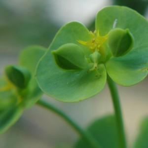 Photographie n°1002279 du taxon Euphorbia peplus L. [1753]