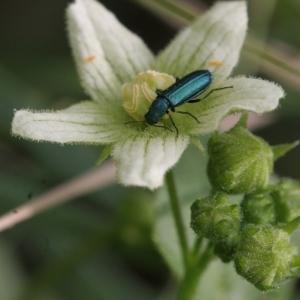Photographie n°1003583 du taxon Bryonia cretica subsp. dioica (Jacq.) Tutin [1968]