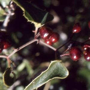 Photographie n°1003590 du taxon Smilax aspera L. [1753]