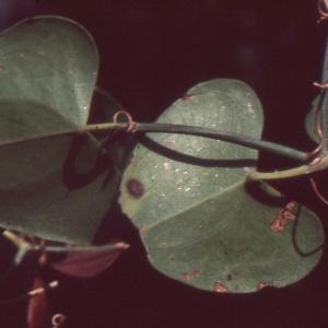 Photographie n°1003596 du taxon Smilax aspera L. [1753]