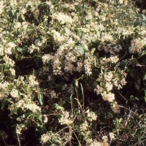Photographie n°1003602 du taxon Smilax aspera L. [1753]