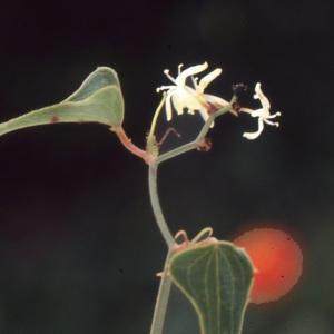 Photographie n°1003607 du taxon Smilax aspera L. [1753]