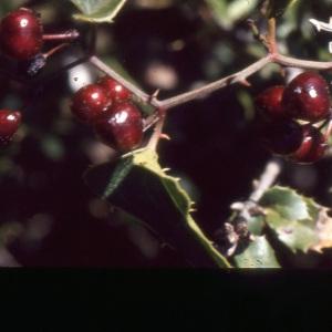 Photographie n°1003610 du taxon Smilax aspera L. [1753]