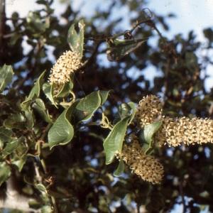 Photographie n°1003611 du taxon Smilax aspera L. [1753]