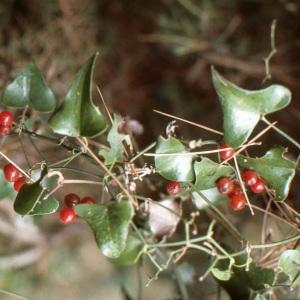 Photographie n°1003614 du taxon Smilax aspera L. [1753]