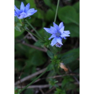 Cichorium sp.