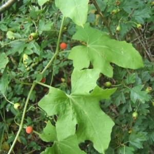 Photographie n°1005015 du taxon Bryonia cretica subsp. dioica (Jacq.) Tutin [1968]