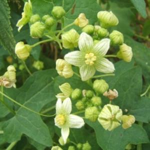 Photographie n°1005016 du taxon Bryonia cretica subsp. dioica (Jacq.) Tutin [1968]