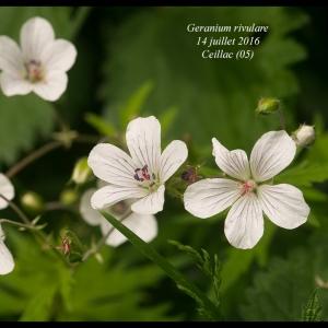 Geranium rivulare Vill. (Géranium blanc)