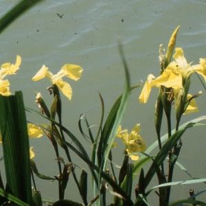 Photographie n°1005986 du taxon Iris pseudacorus L. [1753]