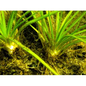 Isoetes echinospora Durieu (Isoète à spores hérissées)