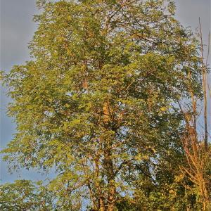 Photographie n°1007360 du taxon Robinia pseudoacacia L.