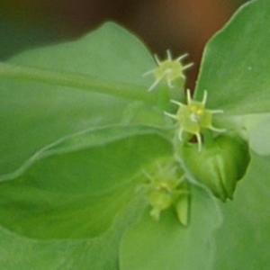 Photographie n°1008098 du taxon Euphorbia peplus L. [1753]