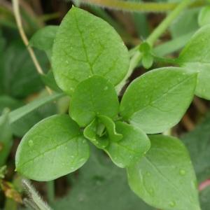Photographie n°1008337 du taxon Stellaria media (L.) Vill. [1789]
