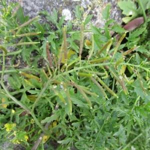 Photographie n°1008558 du taxon Rorippa sylvestris (L.) Besser