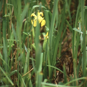 Photographie n°1009294 du taxon Iris pseudacorus L. [1753]