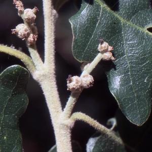 Photographie n°1009403 du taxon Quercus pubescens Willd. [1805]