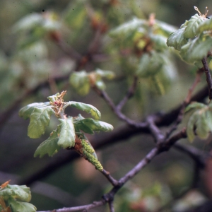 Photographie n°1009404 du taxon Quercus pubescens Willd. [1805]