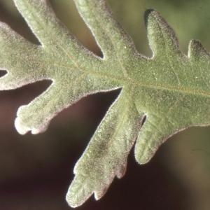 Photographie n°1009405 du taxon Quercus pubescens Willd. [1805]