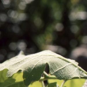 Photographie n°1009406 du taxon Quercus pubescens Willd. [1805]