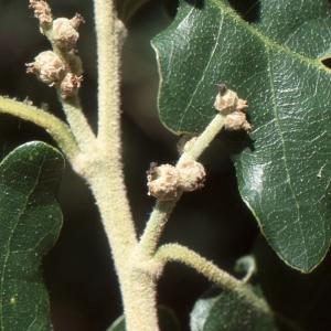 Photographie n°1009408 du taxon Quercus pubescens Willd. [1805]