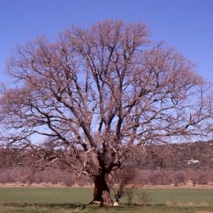 Photographie n°1009409 du taxon Quercus pubescens Willd. [1805]