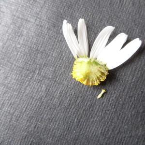 Photographie n°1010774 du taxon Tripleurospermum inodorum (L.) Sch.Bip. [1844]