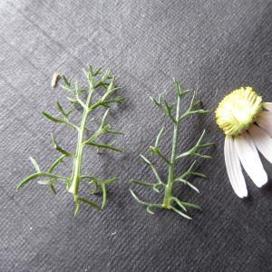 Photographie n°1010777 du taxon Tripleurospermum inodorum (L.) Sch.Bip. [1844]