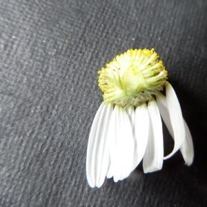 Photographie n°1010779 du taxon Tripleurospermum inodorum (L.) Sch.Bip. [1844]