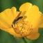 Barbara Mai - Ranunculus acris subsp. acris