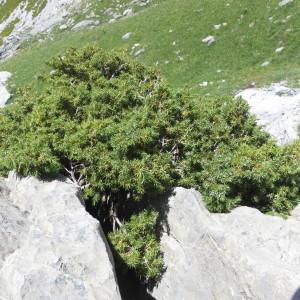 - Juniperus L.