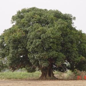 - Cola cordifolia (Cav.) R. Br.