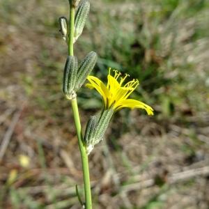 Photographie n°1012166 du taxon Chondrilla juncea L. [1753]
