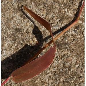 Setaria italica (L.) P.Beauv. subsp. italica