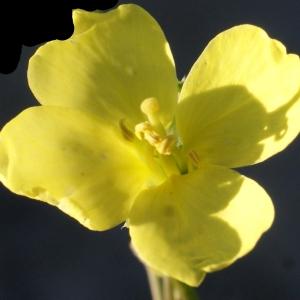 Diplotaxis tenuifolia (L.) DC. (Diplotaxis à feuilles étroites)