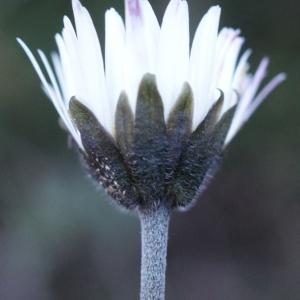 Bellis sylvestris Cirillo (Pâquerette d'Automne)