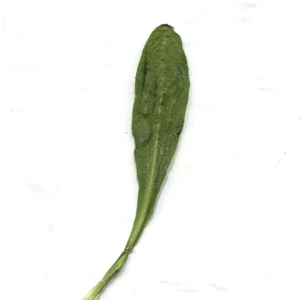 Photographie n°1014437 du taxon Bellis sylvestris Cirillo [1792]