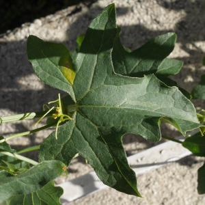 Photographie n°1016075 du taxon Bryonia dioica Jacq. [1774]