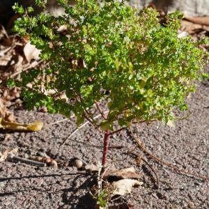 Photographie n°1016662 du taxon Euphorbia peplus L. [1753]