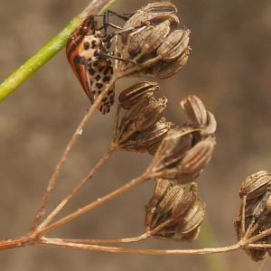 Photographie n°1017228 du taxon Anethum graveolens L.