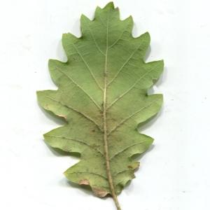 Photographie n°1018380 du taxon Quercus pubescens Willd. [1805]