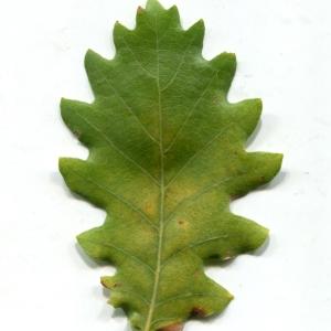 Photographie n°1018381 du taxon Quercus pubescens Willd. [1805]