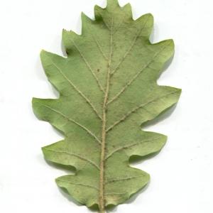 Photographie n°1018382 du taxon Quercus pubescens Willd. [1805]