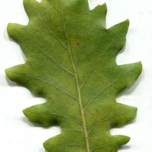 Photographie n°1018383 du taxon Quercus pubescens Willd. [1805]