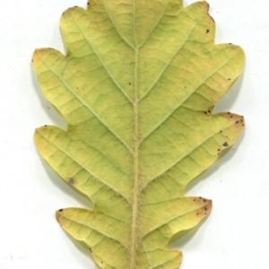 Photographie n°1018386 du taxon Quercus pubescens Willd. [1805]
